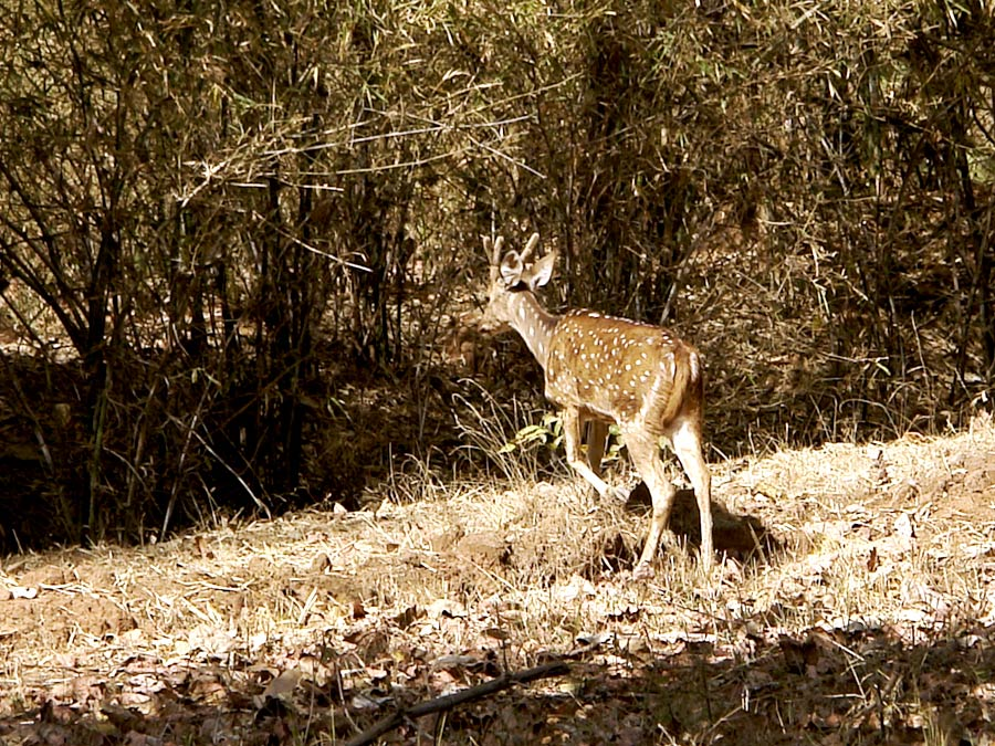 itinerary_bandhavgarh_deer Great India Wildlife Tour