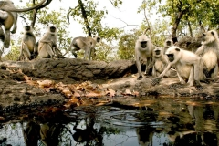 itinerary_bandhavgarh_monkeys Great India Wildlife Tour