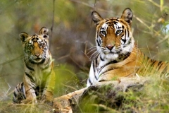 itinerary_jim_corbett_tiger Quick Wildlife Tour of India