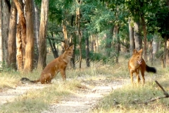 itinerary_kanha_fox Great India Wildlife Tour