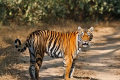 itinerary_kanha_tiger Great India Wildlife Tour