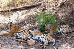 itinerary_pench_tiger Great India Wildlife Tour
