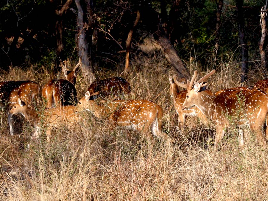 itinerary_sariska_junglesafari Golden Triangle with Sariska and Gwalior