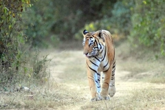 itinerary_sariska_tigersafari Golden Triangle with Sariska and Gwalior