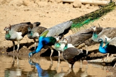 itinerary_sariska_wildlifeconversation Golden Triangle with Sariska and Gwalior