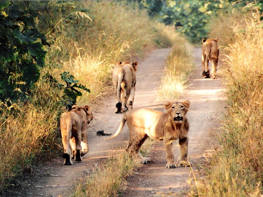 itinerary_gir_lion 9 Days Best of Gujarat with wildlife Tour Package